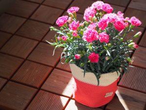 カーネーションの鉢植え