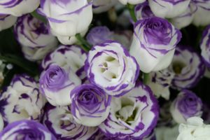 紫の縁取りのトルコキキョウ