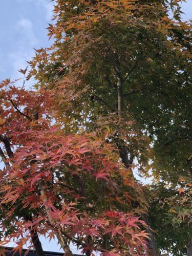 徐々に紅葉するモミジの木