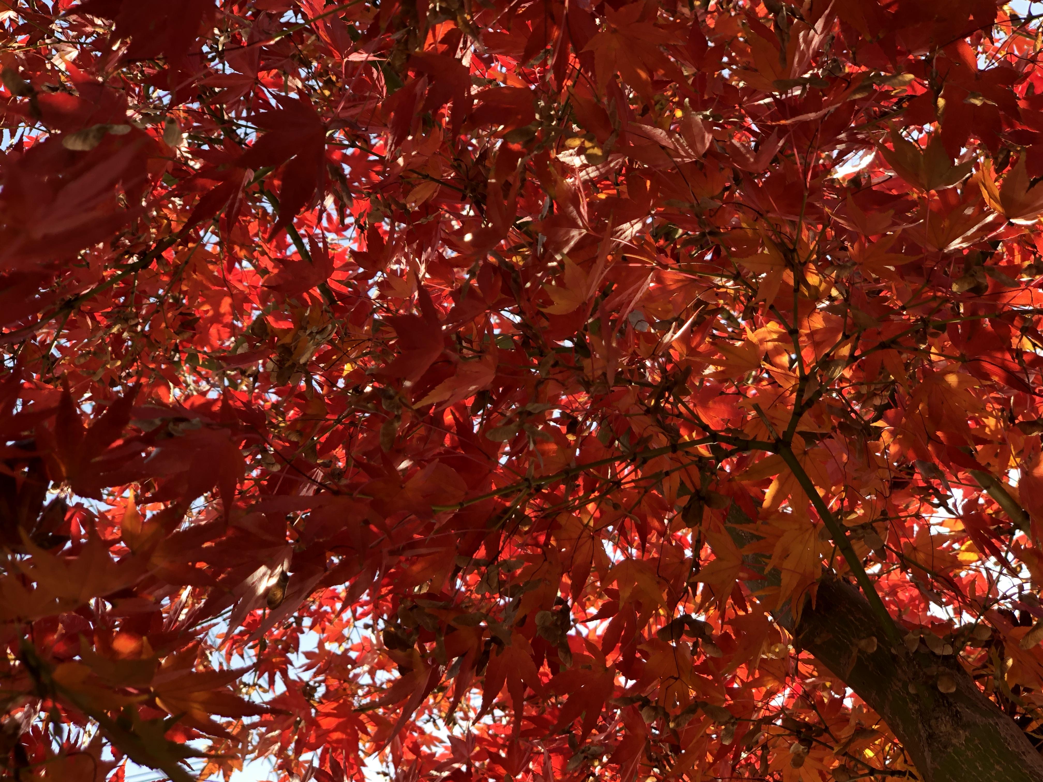 紅葉したモミジの木
