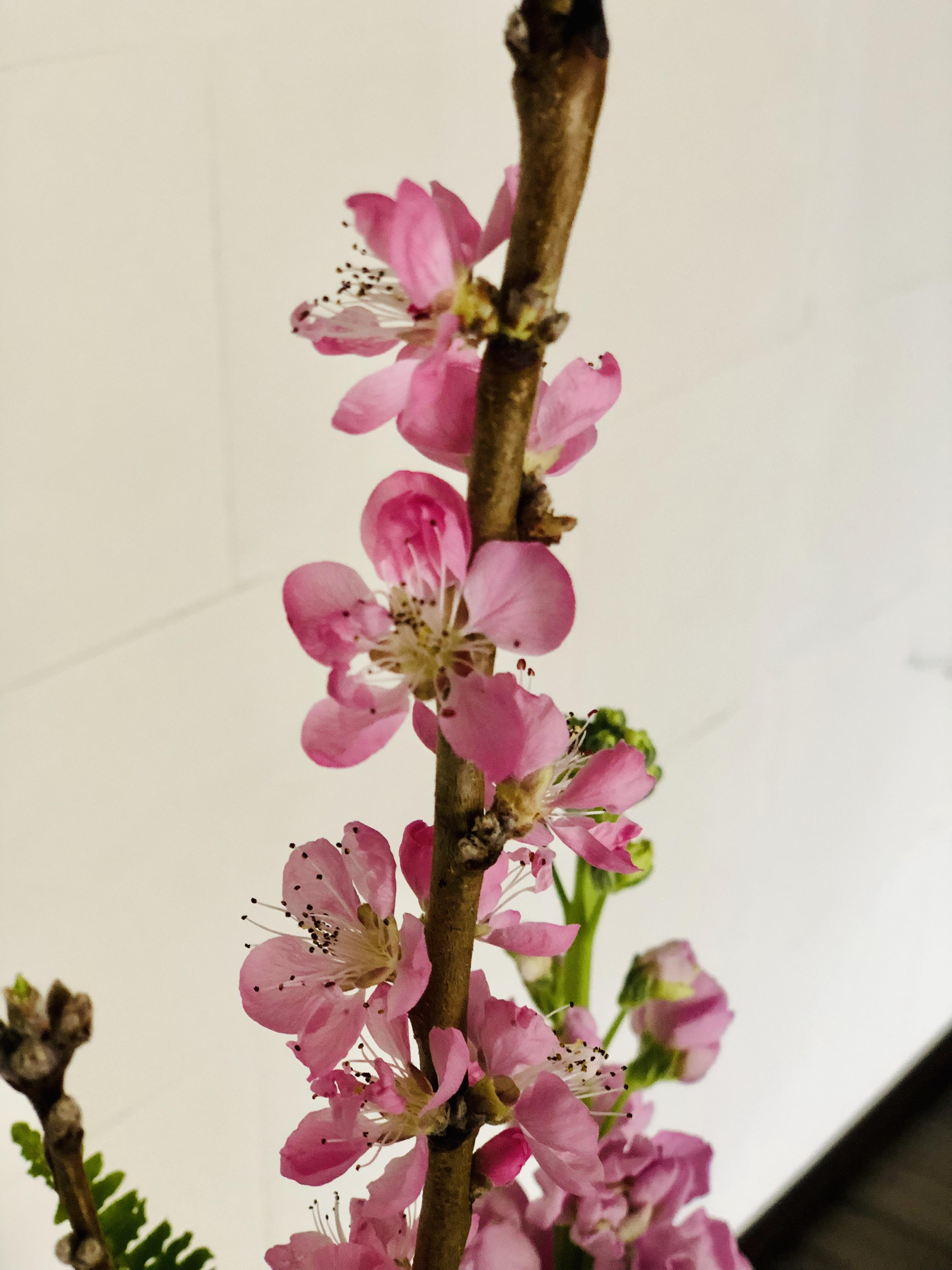 桃の花が咲いた